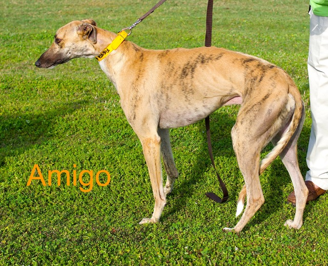 Amigo: With a registered name of Fiesta Amigo, he is a brindle male, born June 9, 2015, with racing tattoos of 65D-66686. Amigo is extremely smart and gentle. Amigo is awesome with people and other dogs.  Amigo is currently enrolled in the Hardee Hero Hound greyhound and inmate basic obedience program. Amigo's inmate trainer says Amigo will also be learning a few tricks for fun. Amigo will be available to move into his forever home on February 24th when he graduates from the program. Amigo is preadopted through Gold Coast Greyhound Adoptions at 813-444-7391 or greyhoundadvancement@gmail.com.