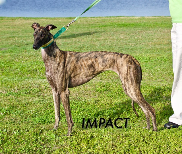 Fiona: With a registered name of Fiesta Impact, she is a brindle female, with racing tattoos: 85D-67131.  Fiona is my name and I use to race for a living, but now I'm looking for a loving family. I was born August 10, 2015, so I'm still a young lady. I like to play with other dogs and kids. I also like toys. You can take me on road trips. Please consider adopting me!  Fiona is currently enrolled in the Hardee Hero Hound greyhound and inmate basic obedience program. Fiona will be available to move into her forever home on February 24th when she graduates from the program. Fiona is preadopted through Gold Coast Greyhound Adoptions and the Greyhound Advancement Center at 813-444-7391 or greyhoundadvancement@gmail.com