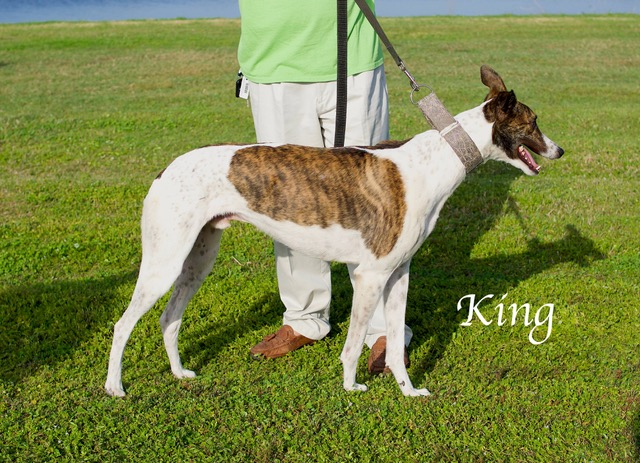 """King: With a registered name of Mega Archr GB'S King, Kingis a gentle and loving 20 month old boy! His racing tattoos are 66061 35H. King is white with patches of brindle. King recently retired from racing and is currently participating in the Greyhound Advancement Center – Hardee Hero Hound greyhound and inmate prison training program at Hardee Correctional Institution.  King is busy with basic training now. That way, King will be just right for his new family. King loves people and will do well with other dogs. King says, """"Come and get me!"""" King is preadopted through Gold Coast Greyhound Adoptions and the Greyhound Advancement Center at 813-444-7391 or greyhoundadvancement@gmail.com."""
